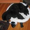 Tamino mit Schaf
